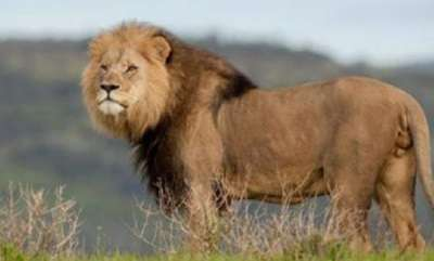 environment-limpopo-lions-being-killed-for-muti-that-gives-power-in-business