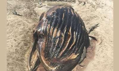 environment-the-moment-nine-three-metre-crocodiles-feast-on-a-dead-humpback-whale