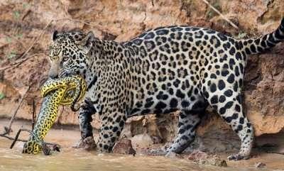 environment-jaguar-stalks-and-kills-a-anaconda
