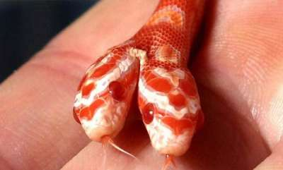 environment-two-head-corn-snake-rare