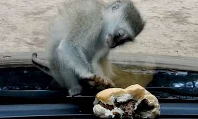 environment-baby-monkey-tries-to-grab-burger-through-glass-windscreen