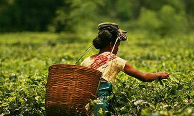 rosy-news-this-assamese-mans-tea-estates-are-the-worlds-first-elephant-friendly-ones