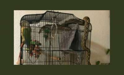 environment-parrot-escapes-jaws-of-death-after-massive-python-tries-to-eat-it