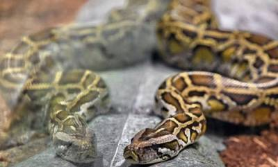 latest-news-python-found-in-trousers-of-drunk-man-in-germany