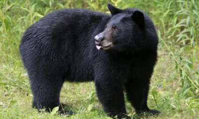 latest-news-bear-founded-in-wayanad