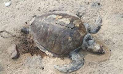 environment-hundreds-of-dead-sea-turtles-found-floating-off-el-salvador