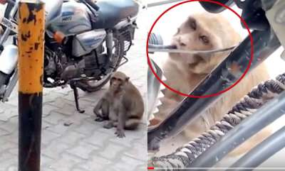 odd-news-addict-monkey-steals-and-drinks-petrol-from-bikes-in-india