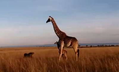 environment-mother-giraffe-manages-flee-after-being-attacked-by-lion
