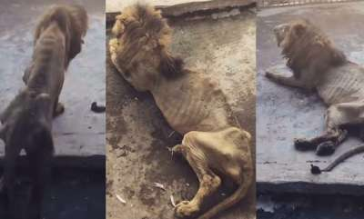 environment-malnourished-lion-hidden-from-zoo-visitors-after-heartbreaking-footage