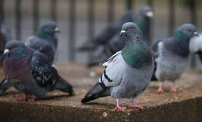tech-news-pigeons-can-discriminate-both-space-time-study