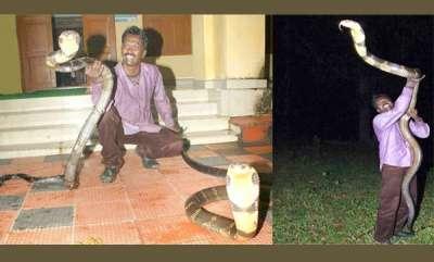 environment-male-king-cobra-attacks-female-king-cobra