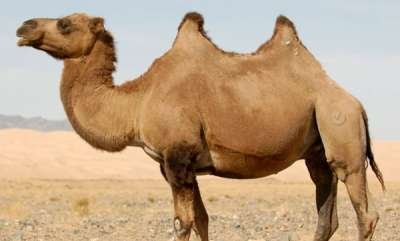 latest-news-army-plans-to-introduce-camels-for-patrolling-lac-in-ladakh