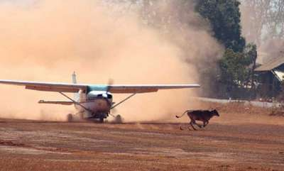 latest-news-cow-on-runway