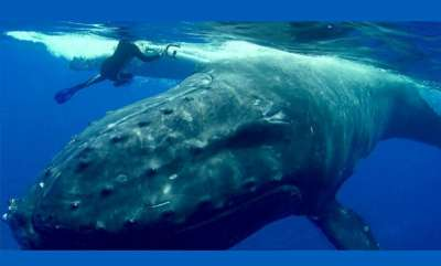 environment-whale-saves-snorkeler-from-tiger-shark-in-the-pacific-ocean