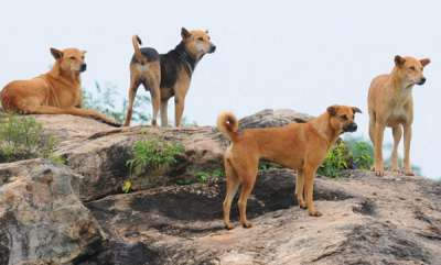 latest-news-7-year-old-mauled-to-death-by-stray-dogs-in-himachal