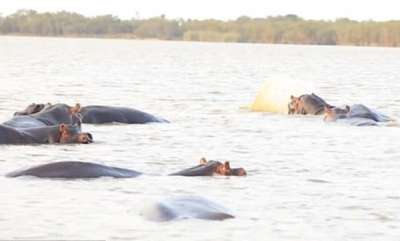 environment-bull-shark-takes-on-a-ferocious-herd-of-hippos