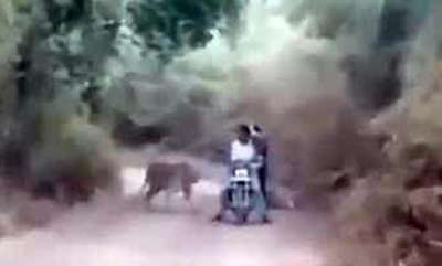 environment-in-chilling-video-bikers-are-caught-between-2-tigers-what-happened-next
