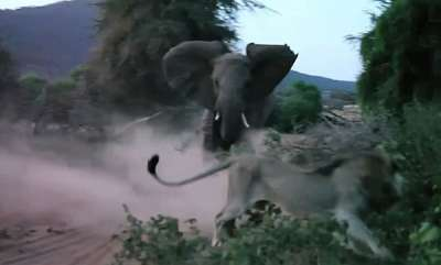environment-elephant-charges-at-lion-and-sends-it-fleeing