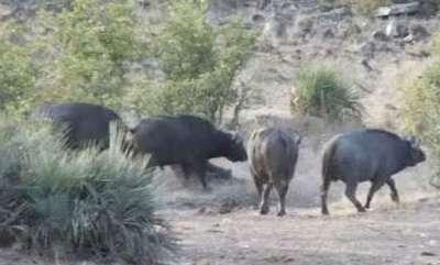 environment-herd-of-buffalo-save-abandoned-baby-elephant