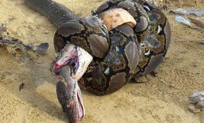 environment-fatal-battle-between-king-cobra-and-giant-python-ends-in-knots
