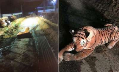 environment-45-minute-standoff-with-tiger-ends-when-police-realise-its-a-stuffed-toy