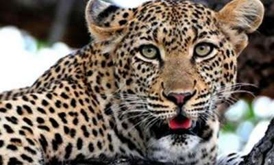 environment-4-year-old-dies-in-tiger-attack-at-thrissur
