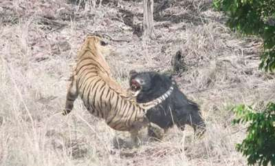 environment-at-tadoba-reserve-tense-face-off-between-tiger-and-bear-caught-on-camera