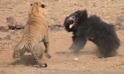 environment-fight-between-bear-and-tiger