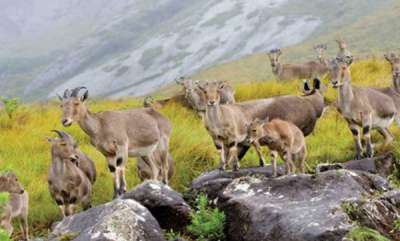 environment-neelgiri-tahr-in-iravikulam-national-park