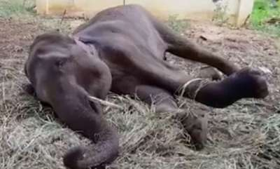 latest-news-madras-high-court-allows-mercy-killing-for-elephant-at-salem-temple