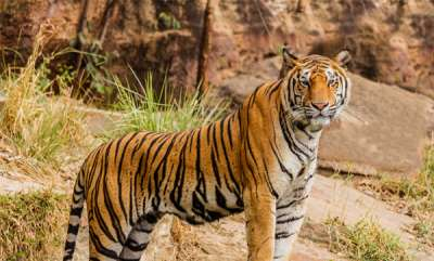 latest-news-tiger-attacked-child