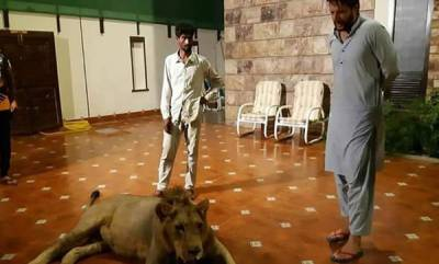 world-afridi-pets-lion-at-home-twitter-photo-causes-storm