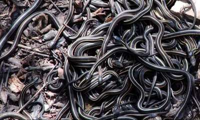 environment-forest-officers-find-100-baby-cobras-in-labourers-house-in-odisha