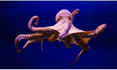 world-octopus-that-predicted-japans-world-cup-results-killed-and-sold-for-food