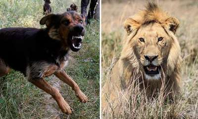 latest-news-in-gujarats-amreli-dog-saves-shepherd-from-lion-attack