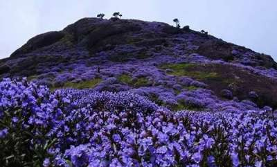 latest-news-neelakurinji-in-munnar