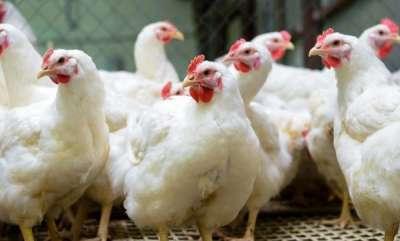 latest-news-drunkard-eats-chicken-alive