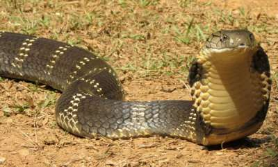 latest-news-when-a-cobras-kiss-gives-joy-grandiosity-sleepiness