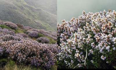 latest-news-facebook-post-about-neelakurinji-view-in-kolukkumala