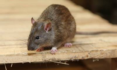 world-rat-pulls-of-fire-alarm-forces-building-evacuation