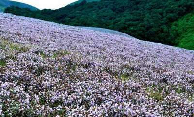 travel-neelakurinji-blooming-season-in-munnar