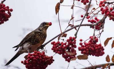 environment-drunk-birds-are-causing-havoc-in-a-minnesota-town