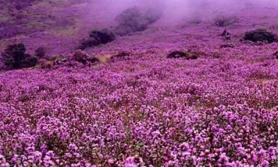 latest-news-neelakurinji-season-in-munnar