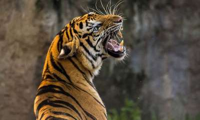 environment-tigress-run-over-with-tractor-by-angry-villagers-in-up-after-it-mauls-man