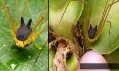 latest-news-foxs-faced-spider
