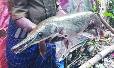 environment-alligator-gar-fish-got-from-kurumalippuzha