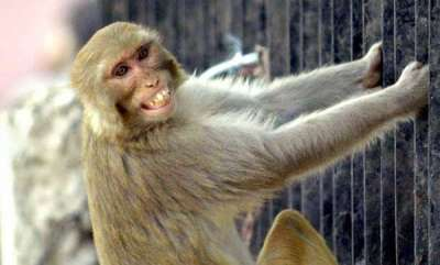 latest-news-monkey-snatches-infant-from-mother-kills-him