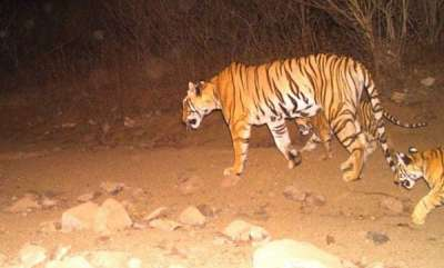 environment-orphaned-cubs-of-tigress-avni-shot-in-controversial-hunt-found-alive