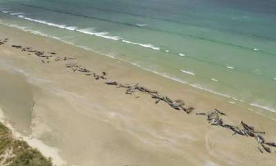 environment-whale-stranding-in-new-zealand-leaves-145-dead