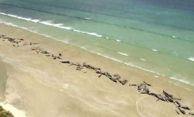 latest-news-145-whales-washed-ashore-in-new-zealand